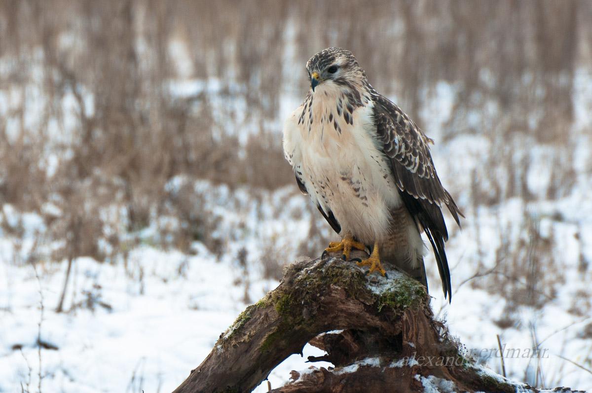 современным хищные птицы белоруссии фото фон данном